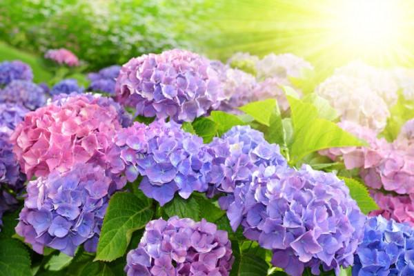 Purple Hydrangea flower (Hydrangea macrophylla) in a garden